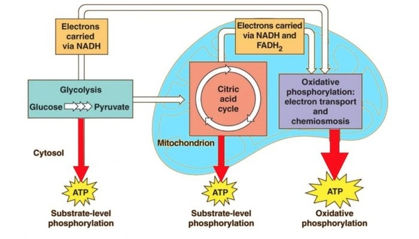 Ch  7  U2013 Cellular Respiration  U2013 Abc Science